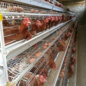 Layer Chicken Cage Manufacturer