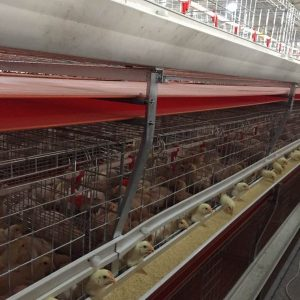 Grasp The Main Points Of Apricot Chicken Breeding Technology